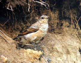 Самочка каменки у гнезда