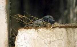 Скалистый голубь в гнезде