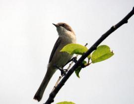 Славка-завирушка на гнездовом участке