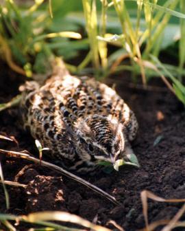 Слёток полевого жаворонка