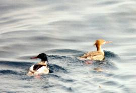 Средний крохаль, самец и самка, на гнездовом участке
