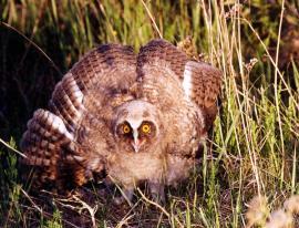 Ушастая сова - молодая птица