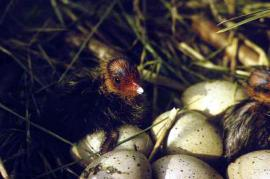 Вылупление птенцов лысухи