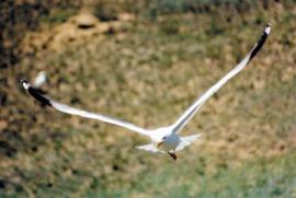 Взрослая птица в полёте