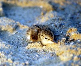 Затаившийся птенец малого зуйка