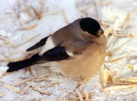 Зимой снегири часто кормятся семенами клёна, в изобилии растущего в городе